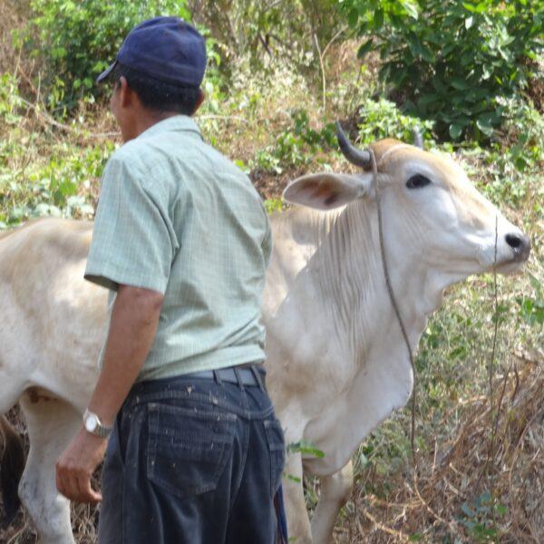 Cow in El Salvador.