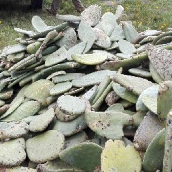 Cactus project, Bolivia.