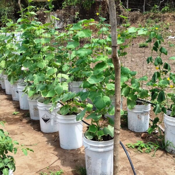 Small market garden enterprise in El Salvador.